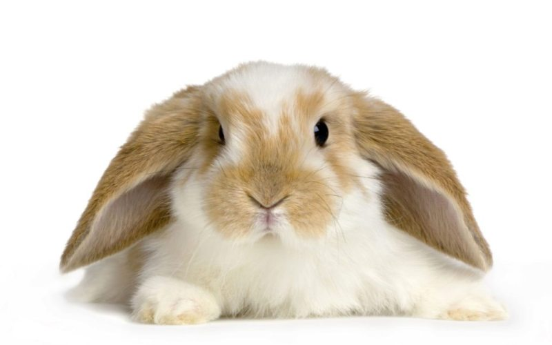 cute-rabbit