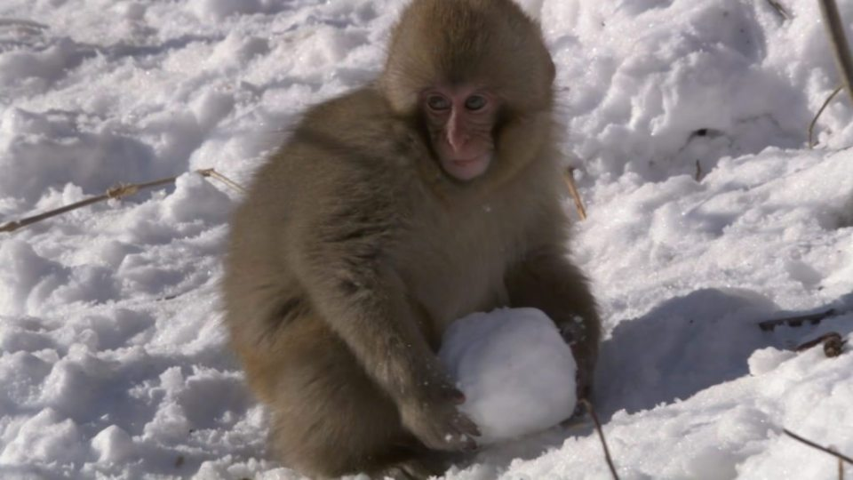 moneky-snowball-fight