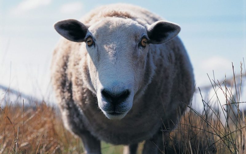 sheep-pupils
