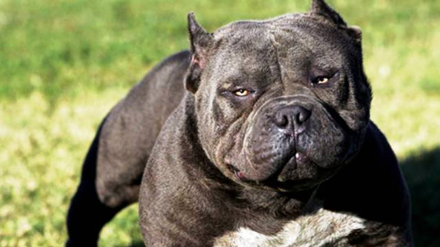 19-most-dangerous-dogs-worldwide
