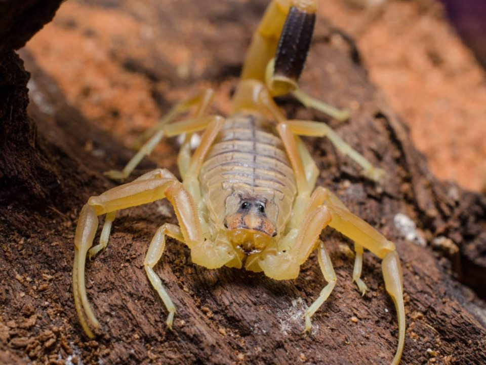 The deathstalker scorpion's venom is used to make tumour paint.