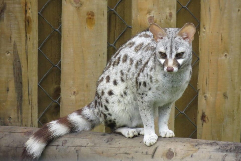 Common genets are often found near pools or rivers.