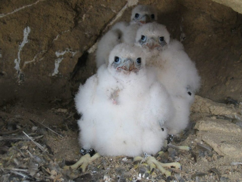 Peregrine Chicks are known as 'eyases'. They depend on their parents for about ten weeks.