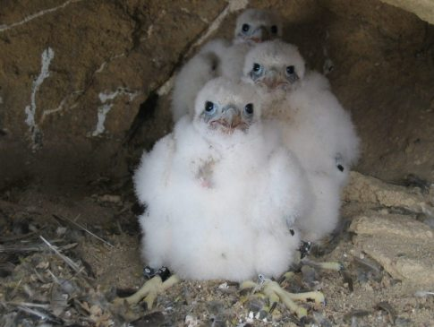 peregrine-young-chicks