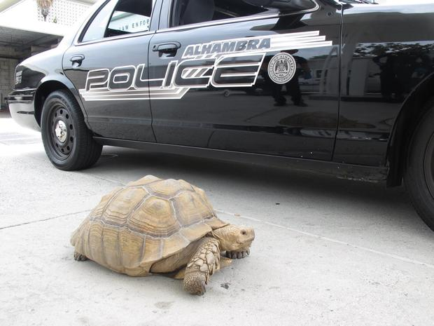 crazy-police-chase-of-a-tortoise-ends-well