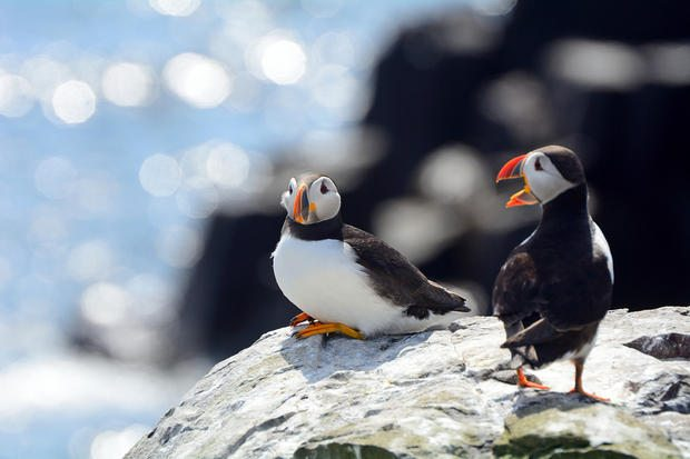 Atlantic puffins in Farne Islands Nature Reserve, England.