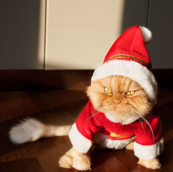 22-grumpy-pets-that-still-dont-have-the-christmas-spirit