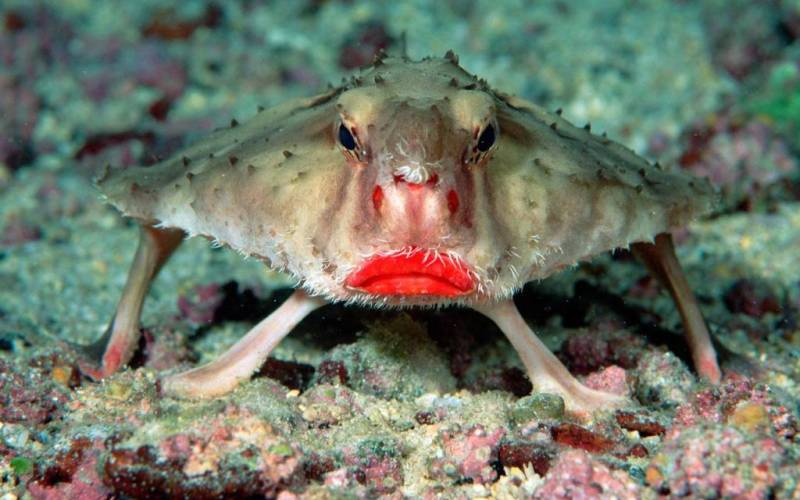5-batfish-red-lips-ocean