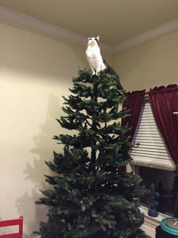 first-cats-that-love-christmas-trees-a-bit-too-much