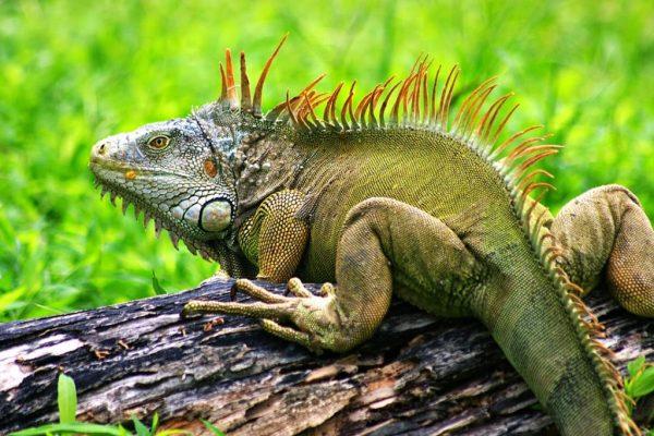 iguana-016