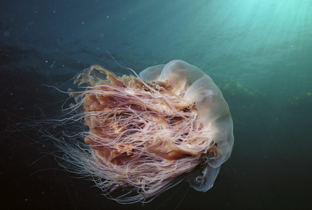 Lions-Mane-Jellyfish