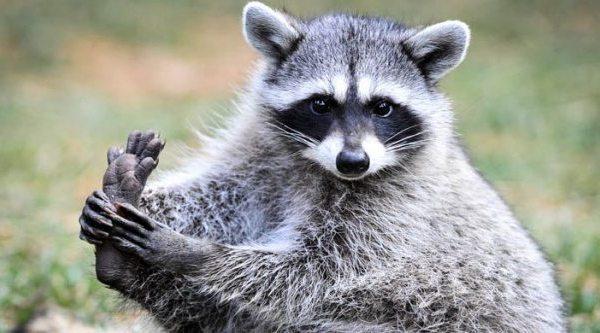 adorable-raccoons-10