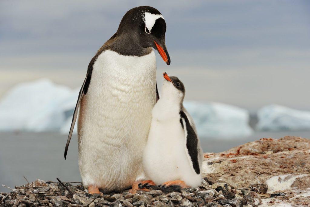 Gentoo penguin mother with chick; Antarctica.