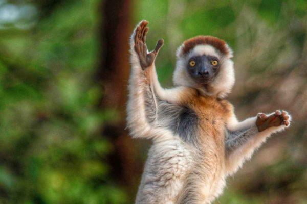 madagascar-lemur