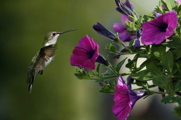 petunia-hummingbird