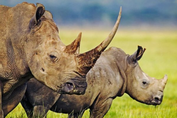 rhinos-long-horn