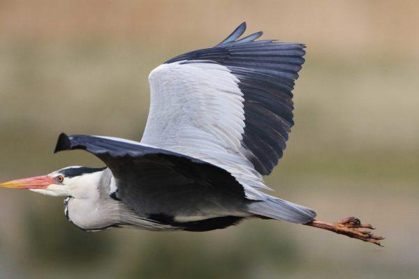 grey-herons