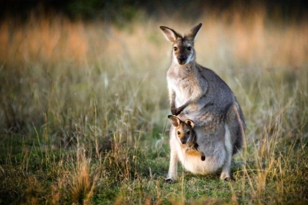 kangaroo-facts-5