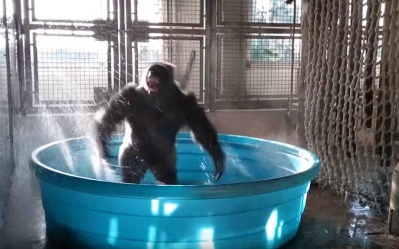 gorilla-dancing