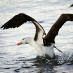 Albatros ave exótica