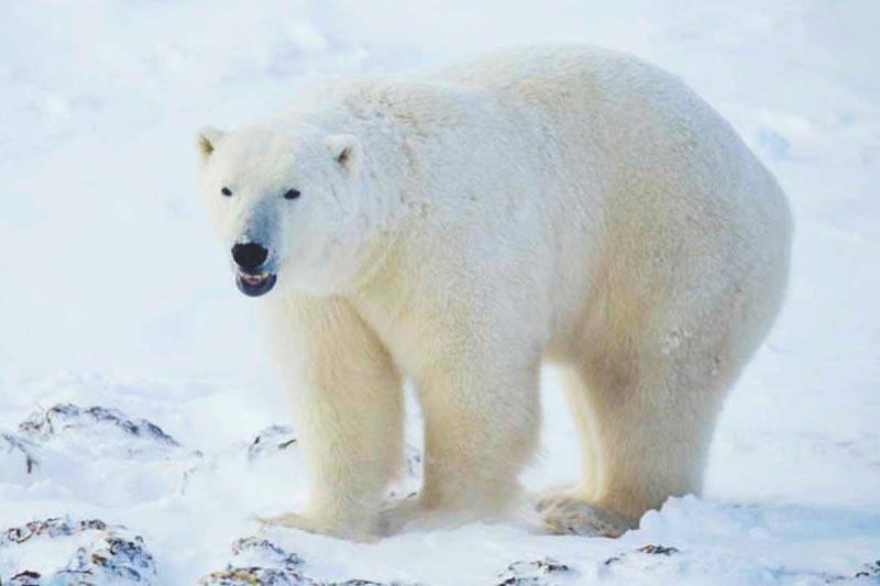 Imagenes De Osos Polares: Descripción, Imágenes Y