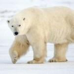 Oso polar grande