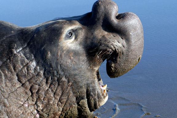 El Elefante Marino