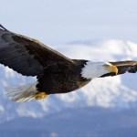 Águila Calva o Águila Americana