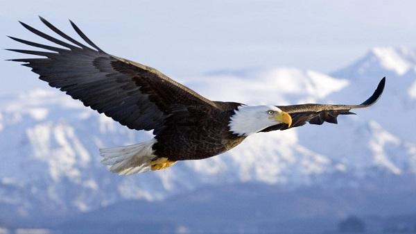 El Águila Calva