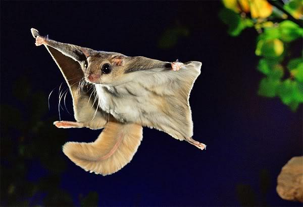 La Ardilla Voladora