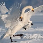 Cisne blanco peleando