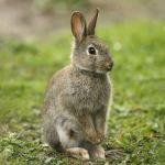Conejo en estado salvaje