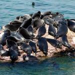 Foca del Baikal o Nerpa en grupo