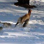 Lobo gris cazando