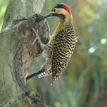 Pajaro carpintero andino ave exótica