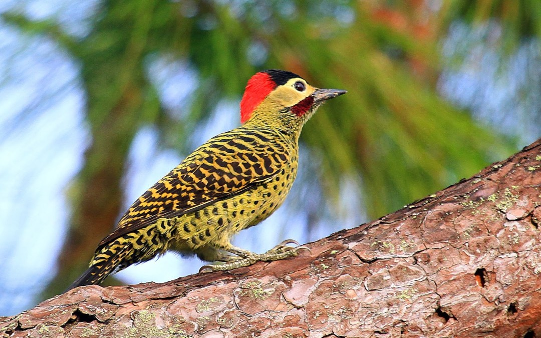 El Pájaro Carpintero Andino