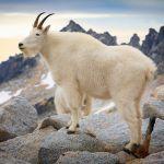 Cabra de las montañas Rocosas