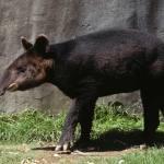 Tapir andino o danta andina
