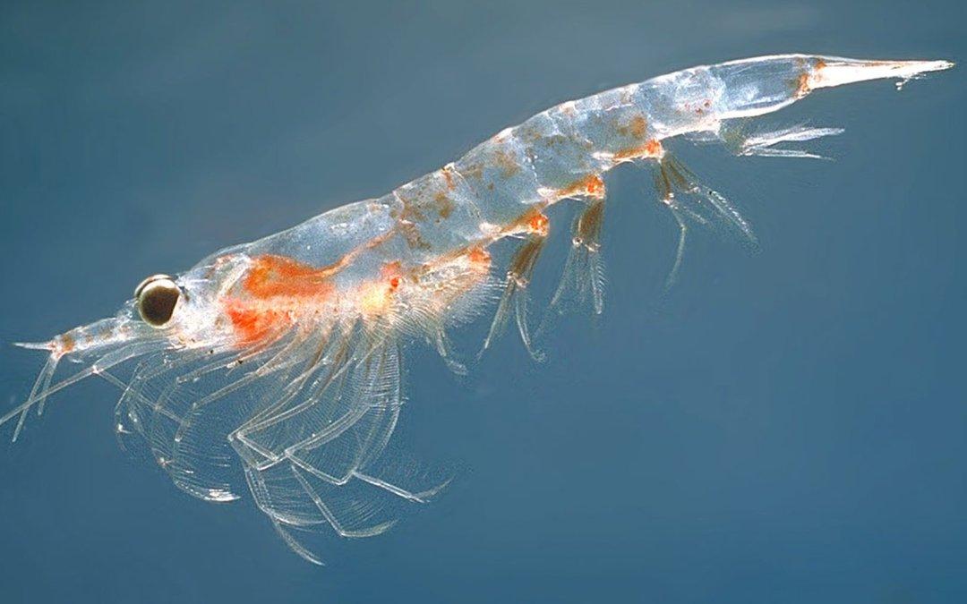 El Krill Antártico