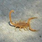 Escorpión Corteza de Arizona