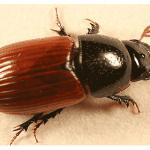 coleóptero