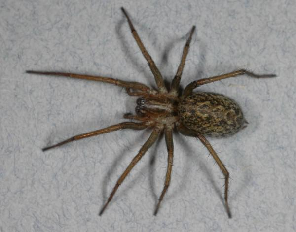 La Araña Hobo