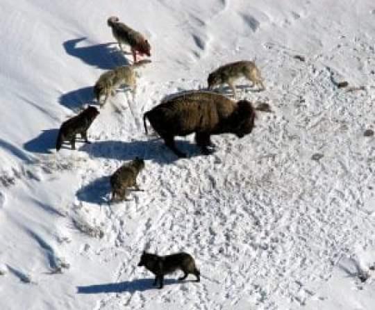 Lobos atacando en manada