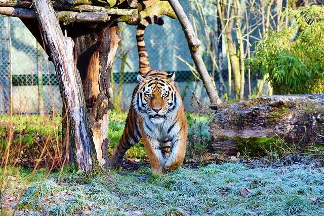 Los Tigres