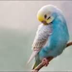 Periquitos arcoiris
