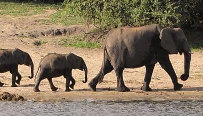 elefante africano alimentacion