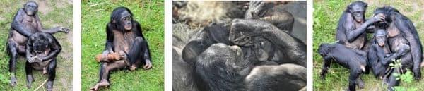 monos bonobo fotos