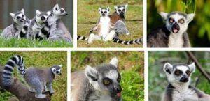 donde viven los lemures