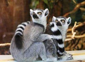 que es un lemur