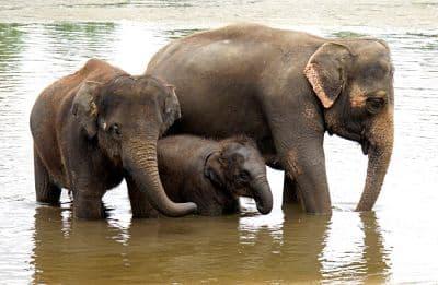 habitat del elefante asiatico